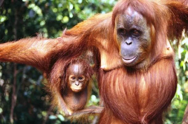 L'Orang-outan un des 20 des animaux les plus intelligents au monde