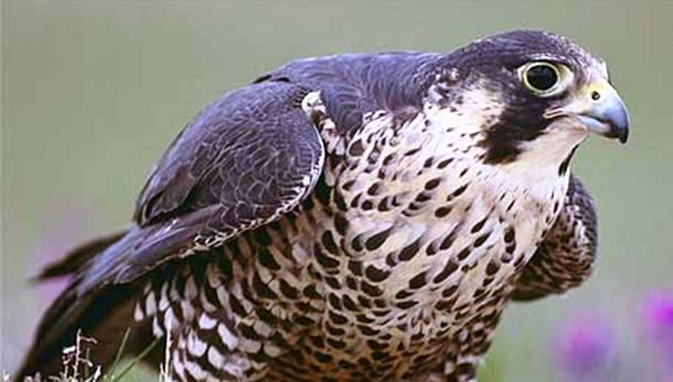 Les faucons 20 des animaux les plus intelligents au monde
