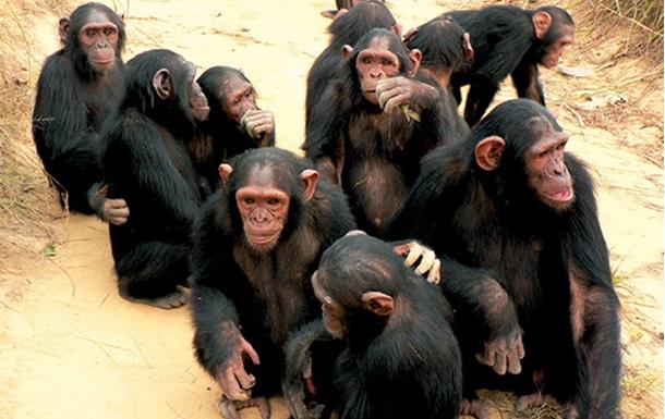 Les chimpanzés parmi les 20 animaux les plus intelligents au monde